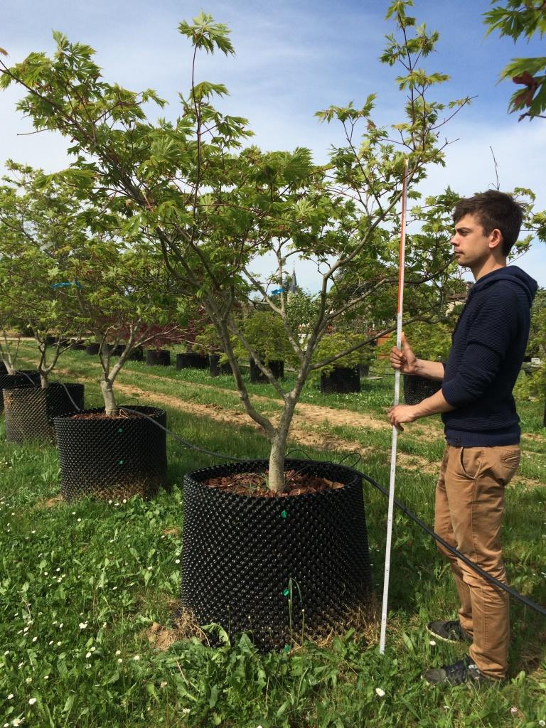 AIRPOT Acer palmatum 'Aconitifolium' CP 18.20 H 175.200