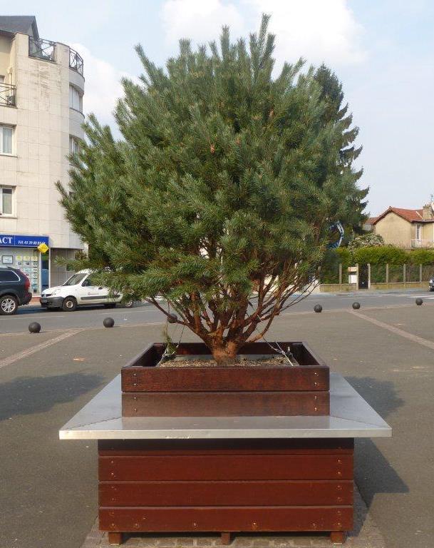 GEBEBAC Pinus watereri nana (2)