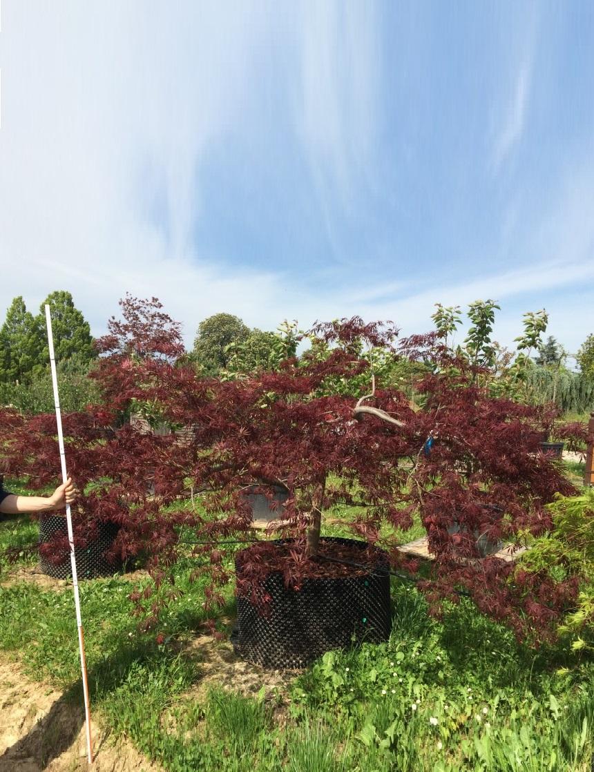 AIRPOT Acer palmatum 'Dissectum Inaba Shidare' T 350.400 (2)