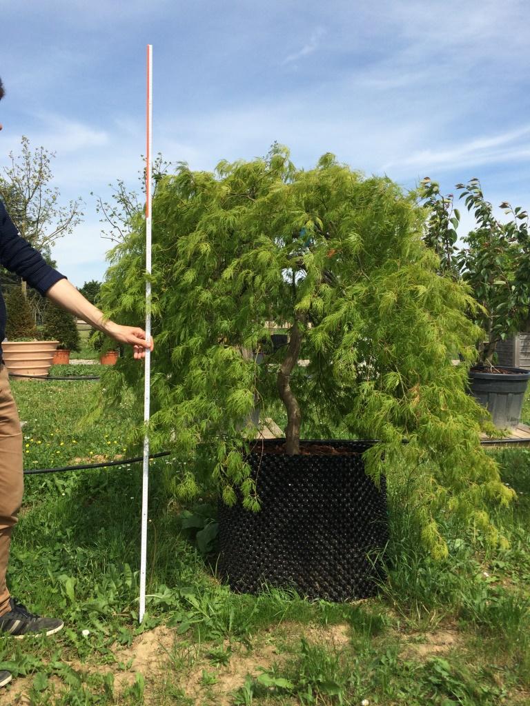 AIRPOT Acer palmatum dissectum 'Shinonome' L 200.250 (3)