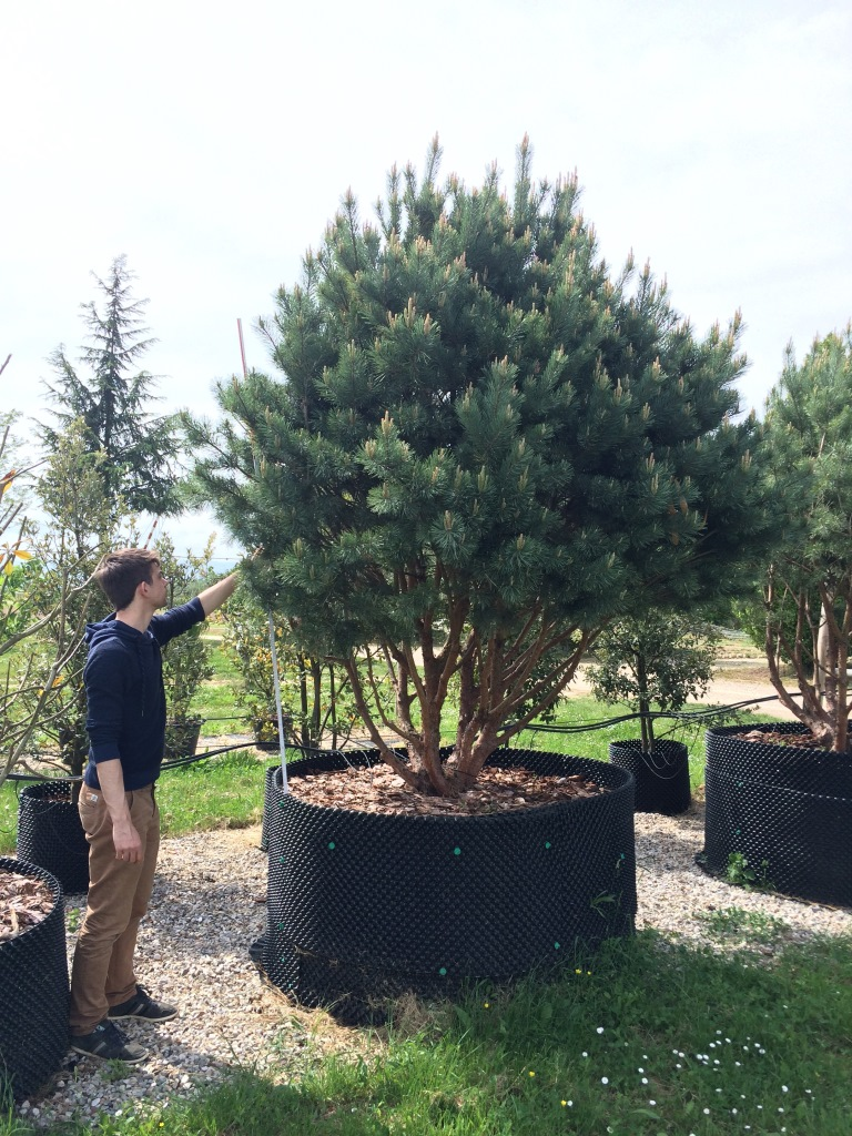 AIRPOT Pinus sylvestris 'Watereri Nana' 250.300
