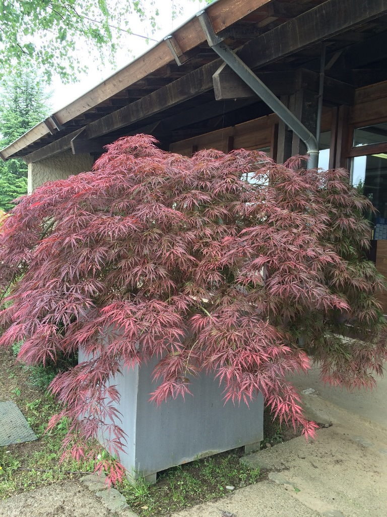 GEBEBAC Acer palmatum dissectum Inaba Shidare