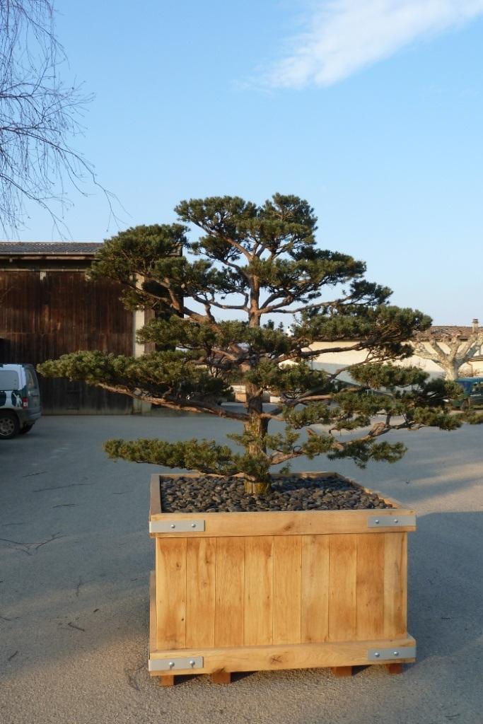 GEBEBAC Pinus (2)