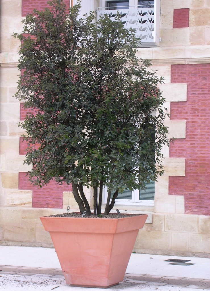 GEBEBAC Quercus ilex CP bac Square